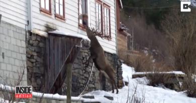 divoký jelen