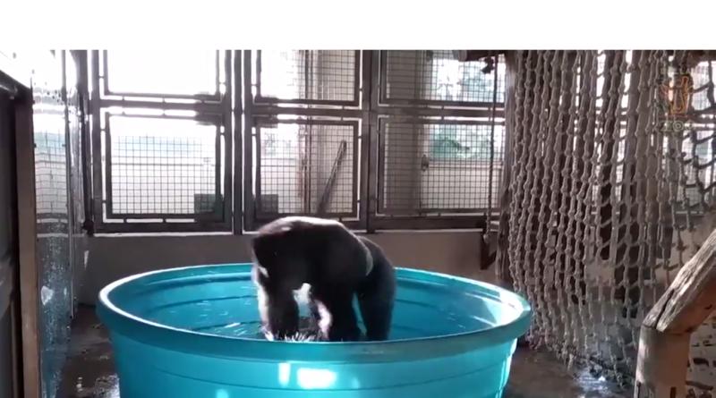 tancující gorila