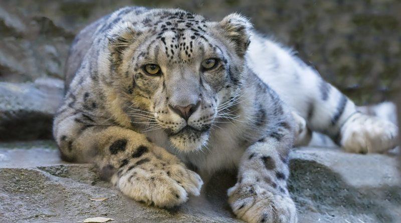 Levhart sněžný již není ohroženým druhem